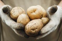 有机蔬菜 手套的农夫得到新近地被采摘的veg 库存图片