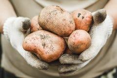 有机蔬菜 手套的农夫得到新近地被采摘的veg 免版税库存图片