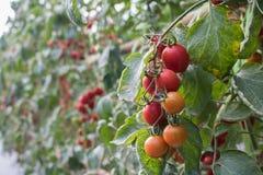 有机蕃茄在准备好的庭院里收获 免版税图库摄影