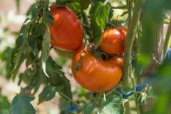 有机蕃茄 库存照片