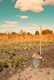 有机被种植的土豆第一个收获  库存图片