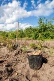 有机被种植的土豆第一个收获 免版税库存图片