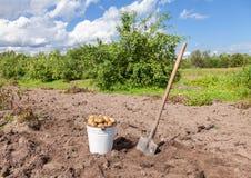 有机被种植的土豆第一个收获 免版税图库摄影