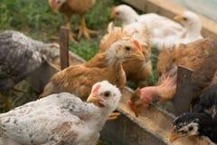 有机被养的鸡 库存图片