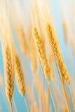有机金黄麦子庄稼 库存照片