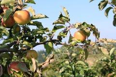 有机黄色和红色苹果在苹果树 库存图片