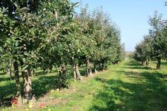 有机黄色和红色苹果在苹果树 库存照片