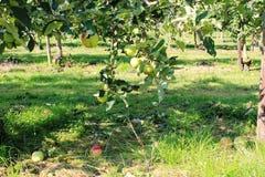 有机黄色和红色苹果在苹果树 图库摄影