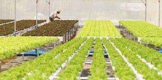 有机水耕的菜园 免版税库存照片