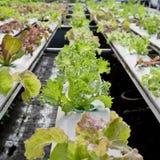 有机水耕的菜耕种农场-接近  免版税库存图片