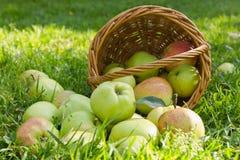 有机绿色成熟苹果从篮子溢出 免版税库存图片