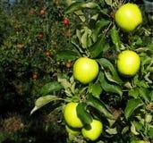 有机黄色苹果耕种与红色部分在背景 库存图片