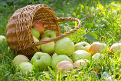 有机绿色苹果从在草的篮子溢出 免版税库存照片