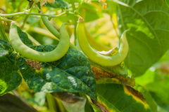 有机黄色菜豆 免版税库存照片