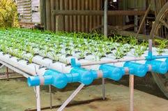 有机绿色莴苣从水栽法系统增长的小植物或沙拉菜用在水witho的液体肥料解答 库存照片