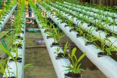 有机绿色莴苣从水栽法系统增长的小植物或沙拉菜用在水witho的液体肥料解答 图库摄影