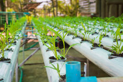 有机绿色莴苣从水栽法系统增长的小植物或沙拉菜用在水witho的液体肥料解答 免版税图库摄影
