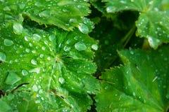 有机水滴鲜绿色的叶子宏观灌木地面的厂 免版税库存图片