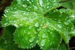 有机水滴鲜绿色的叶子宏观灌木地面的厂 库存照片