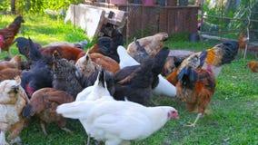 有机养鸡场,国内小鸡牧场领域,绿草 影视素材