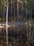 有杉木的小湖在岸在秋天森林里 免版税库存照片
