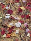 有杉木针的秋天叶子 库存照片