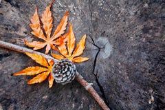 有杉木锥体的枫叶在老树桩 免版税库存图片