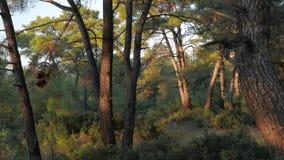 有杉树树干和皮影戏的夏天森林 4K 股票录像