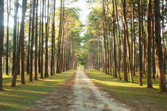 有杉树的农村路 免版税库存图片