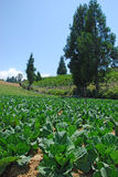 有杉树的圆白菜农场在Fushoushan农场,台湾 图库摄影