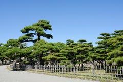 有杉树的日本庭院 免版税库存图片
