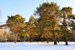 有杉树的沼地在日落 33c 1月横向俄国温度ural冬天 库存图片