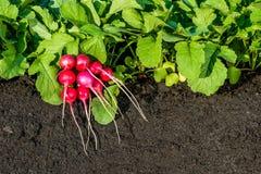 有束的红色萝卜植物萝卜 免版税库存图片