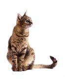 有条纹的好奇猫 免版税库存照片