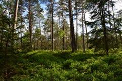 有松树的巴法力亚森林 免版税库存照片