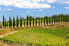 有柏树行的葡萄园在Val d ` Orcia,托斯卡纳, Ital 免版税库存图片
