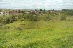 有柔和吃草的母牛绿色草甸 免版税图库摄影