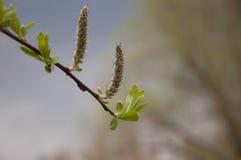 有柔荑花的一根枝杈 库存图片