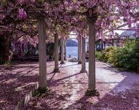 有柱子和紫藤的美好的前院开花 库存图片