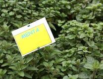 有标签的植物与文本MENTA在意大利手段MENT 免版税图库摄影