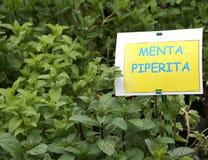 有标签的芳香植物与文本MENTA在意大利m 免版税库存照片