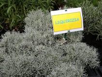 有标签的LIQUIRIZIA植物在意大利手段欧亚甘草 库存照片