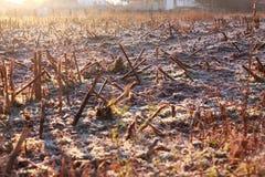 有树冰的冷淡的玉米田早晨 库存照片