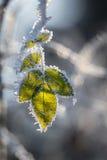 有树冰的野玫瑰果叶子 库存照片