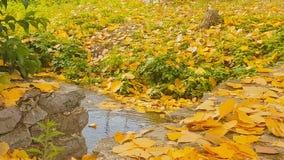 有树叶子漂浮的绿色池塘 一处美好的秋天风景 影视素材