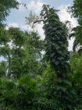 有树和藤的绿色森林 免版税图库摄影