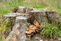 有树桩和蘑菇的森林 图库摄影
