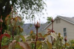 有树的罗斯芽 免版税库存照片