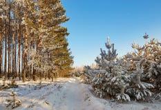 有树积雪的分支的冬天森林  神仙的秀丽 免版税图库摄影