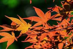 有树荫的红色叶子 库存图片
